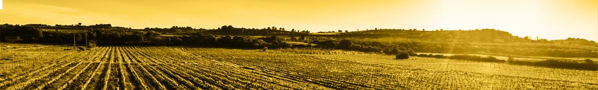 BIOLOGICAL WINES LANGUEDOC vins fins et élégants - vins biologiques hauts de gamme - vins bio haute couture en Languedoc - Vue d'une vigne de CHAPELLE de NOVILIS