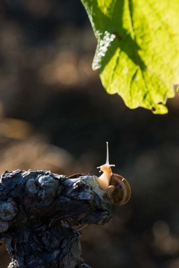 Oenotourisme en Languedoc - Oenotourisme à Maraussan - Balade découverte de la vigne à la cave-Activités-Oenotouristiques