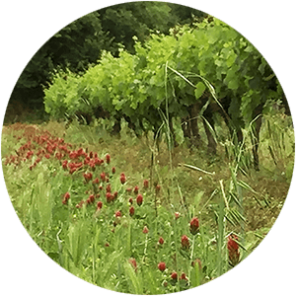 Du Trèfle Incarnat dans nos vignes