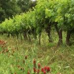 Viticulture durable : les vignes de Chapelle de Novilis
