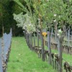 Agroforesterie : réintégrer l'arbre dans les vignes à CHAPELLE de NOVILIS