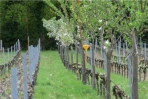 Réintégrer l'arbre dans les vignes