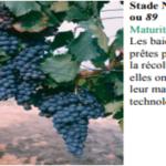 Vigne : stades de végétation