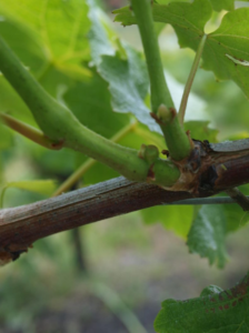 ébourgeonnage de la vigne